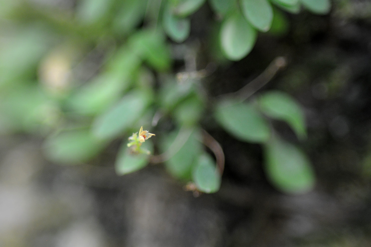 Smallest orchid in the world.  Approx 2mm across.