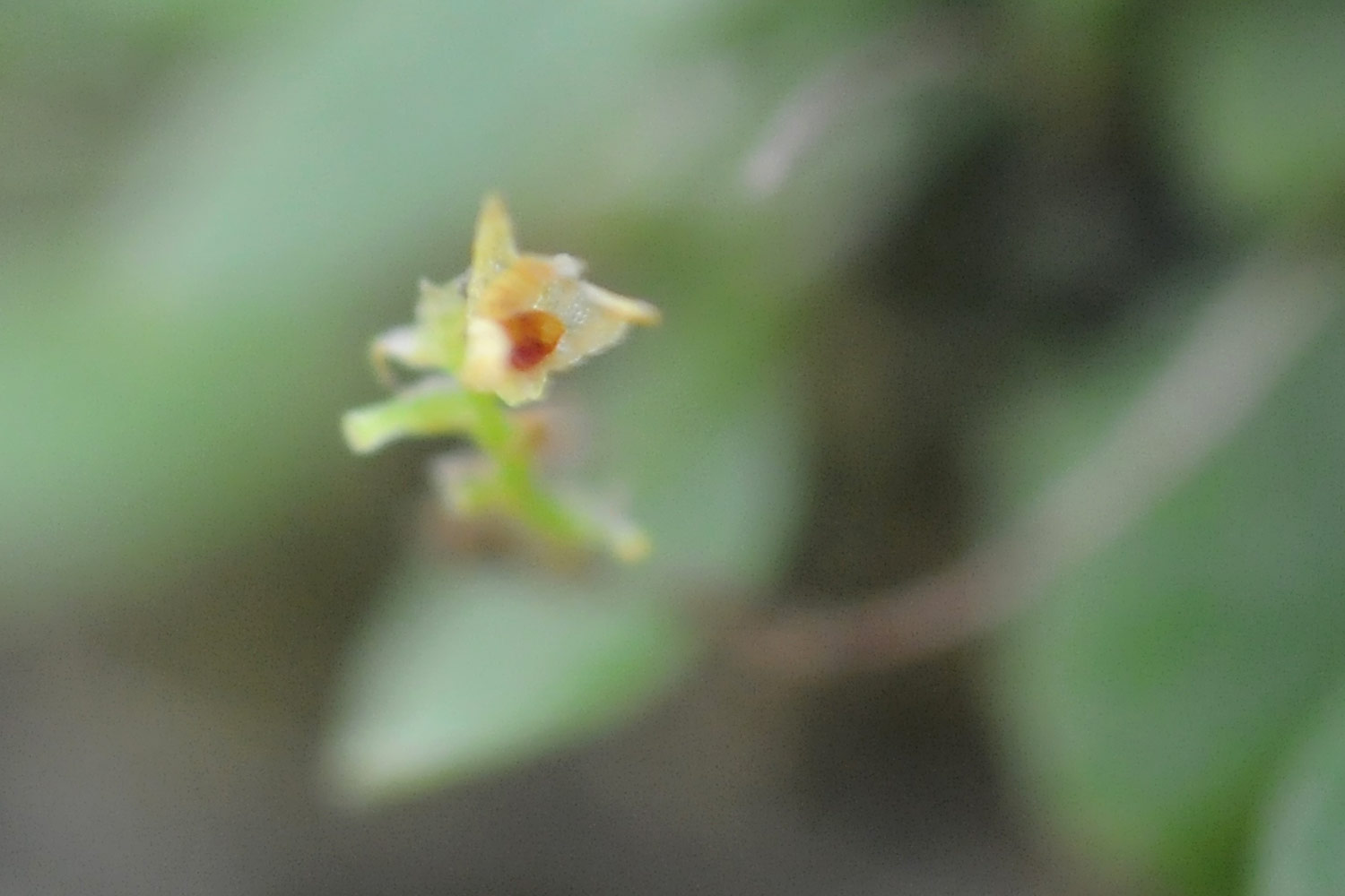 Smallest orchid in the world, platystele jungermannioides.