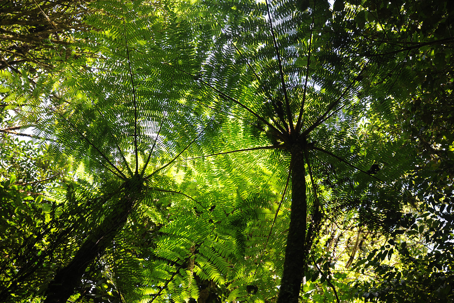Giant Ferns, Monteverde Cloud Forest, Costa Rica