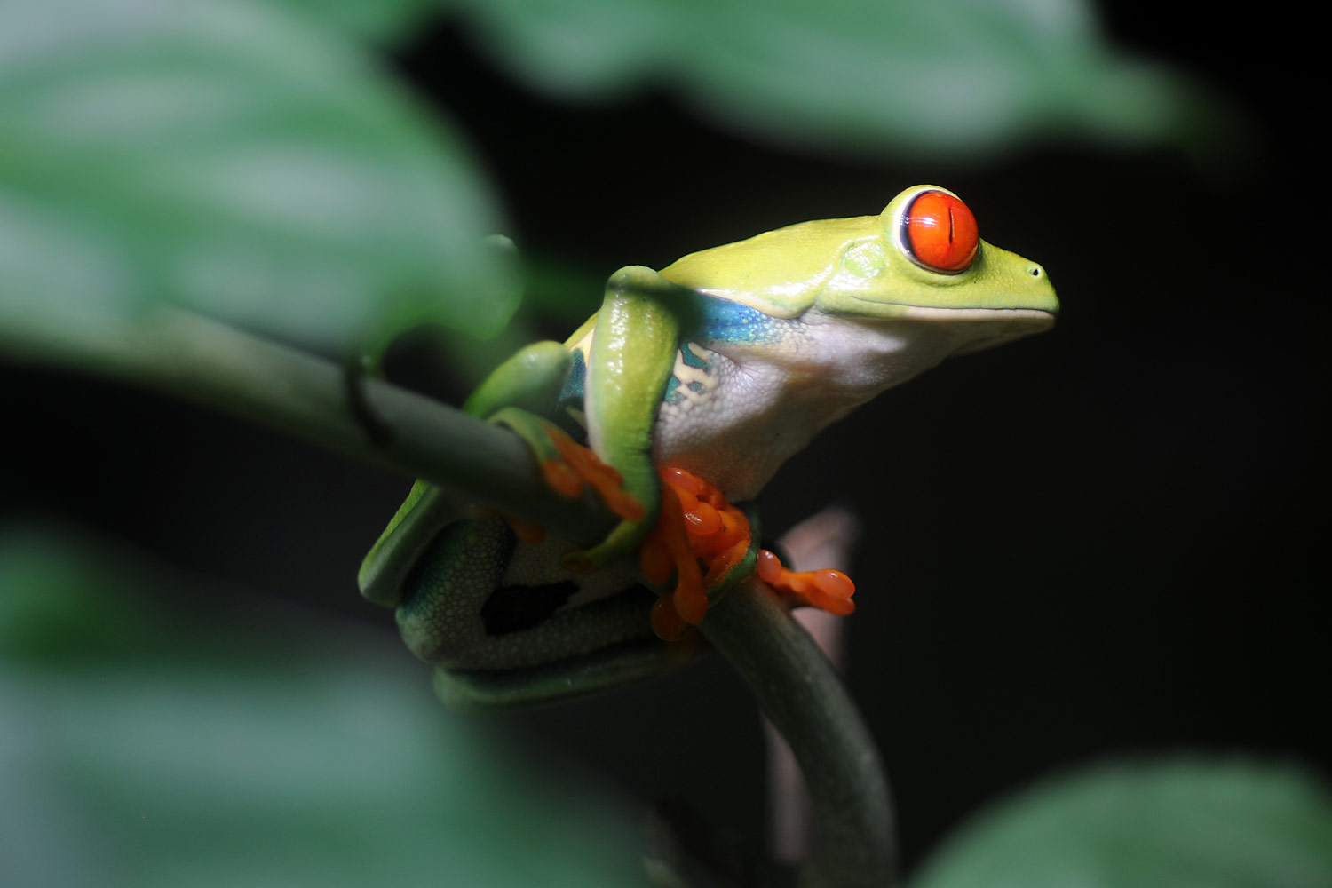 Red Eyed Tree Frog, Monteverde Frog Museum, Costa Rica