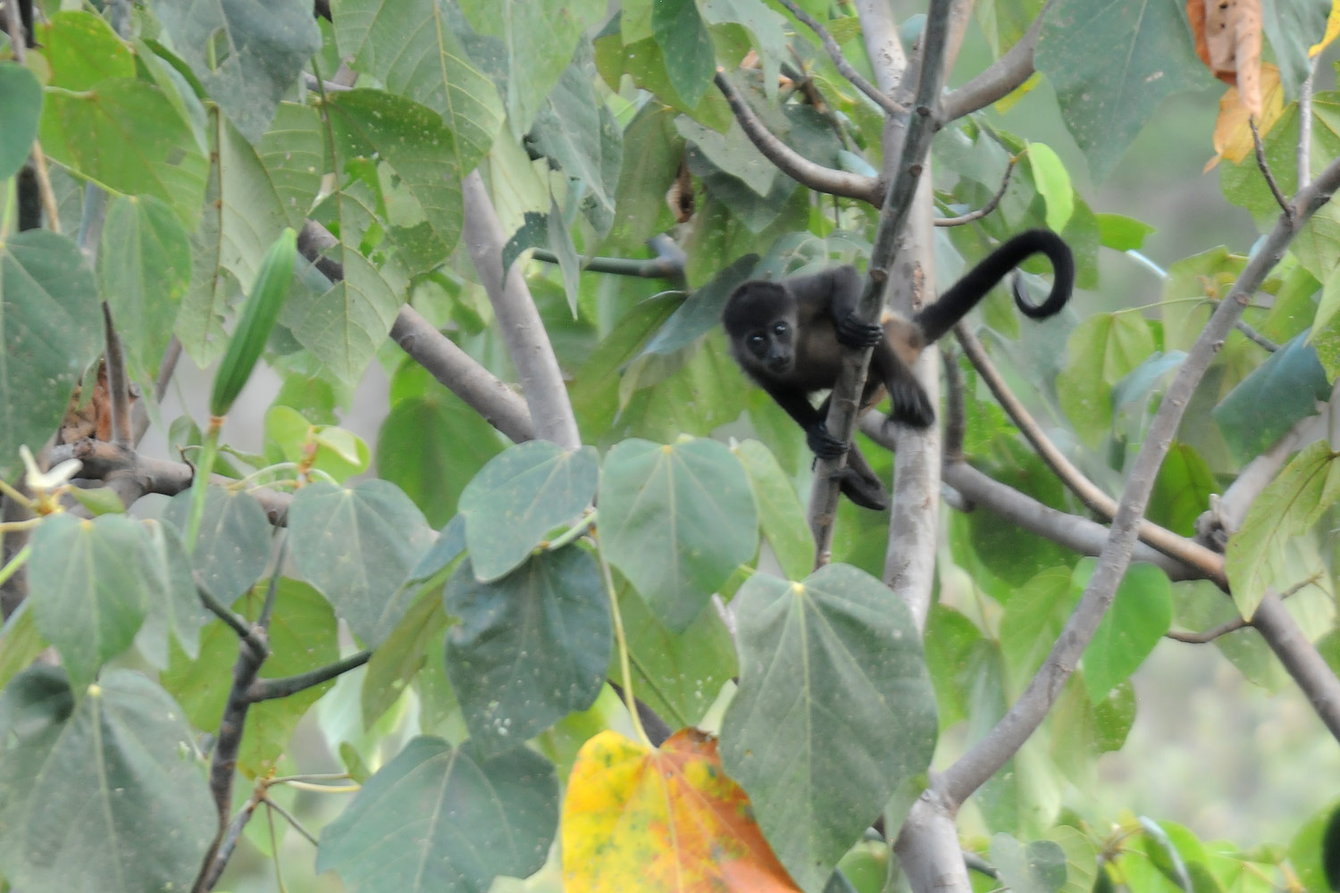 Baby Howler monkey, Ostional, Costa Rica