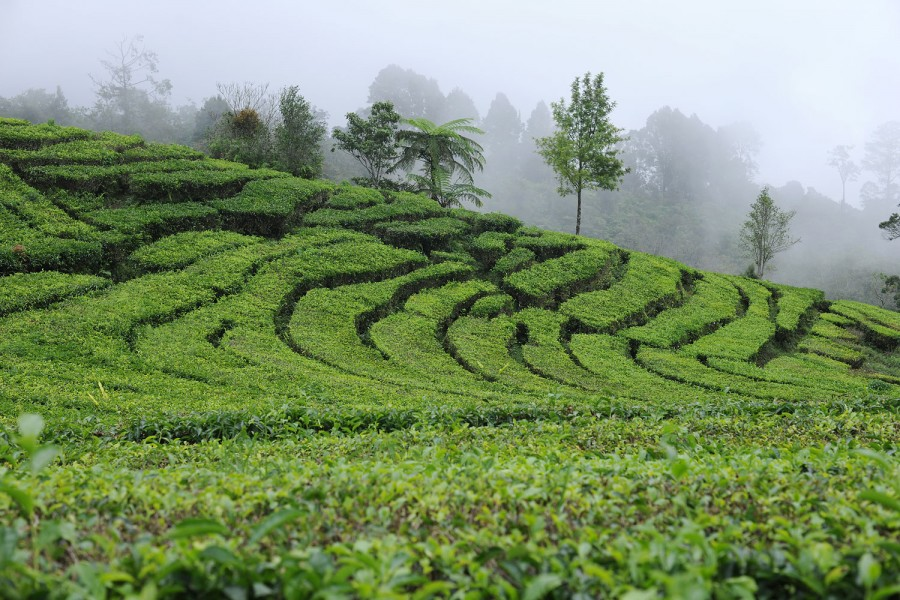 Lembang Tea Plantations, Indonesia
